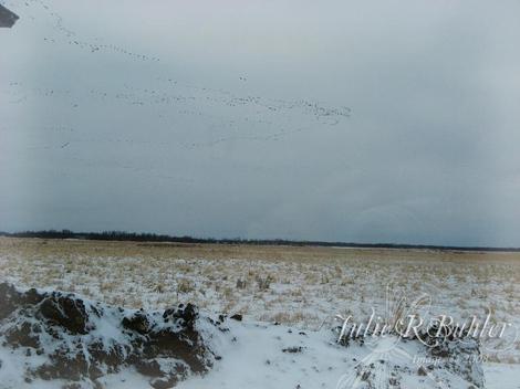 Jrb_snow_geese